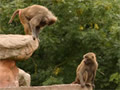 Baboons at Paignton Zoo and Botanical Gardens near to Guy's Cliffe holiday apartments & flats